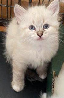 القطط الفارسية متاحة للبيع