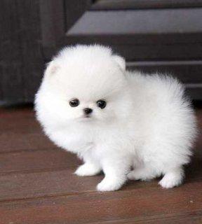 الجراء كلب صغير طويل الشعر للبيع