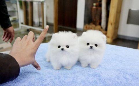 تيدي بير جرو كلب صغير طويل الشعر