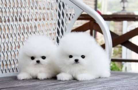 رائعتين كلب صغير طويل الشعر وجذاب !!!