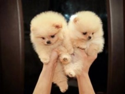 لدينا الجراء الجميلة كلب صغير طويل الشعر فنجان للبيع.