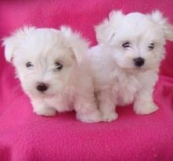 adorable Maltese puppies puppies for adoption