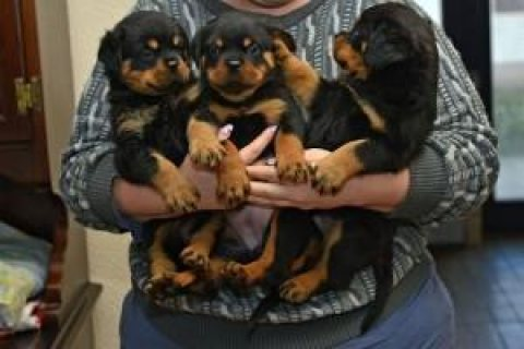Energetic kc Rottweiler Puppies Available For Adoption