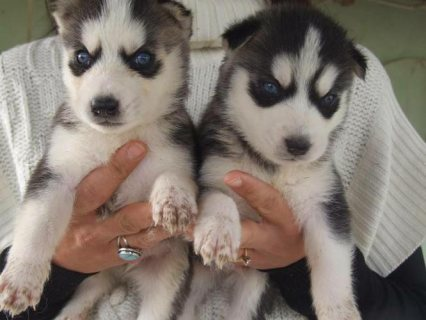 Blue Eyes Siberian Husky available