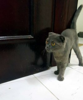 قطة سكوتش فولد