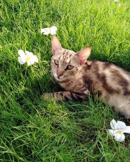 قطة من فصيلة سكوتش استريت