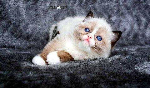 قطط راغدول للبيع ragdoll kitten العمر 40 يوم