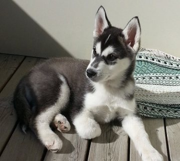 Husky pups available for sale