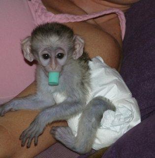 Cute Little Female Capuchin