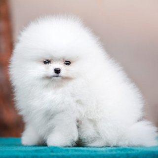 كلب صغير طويل الشعر الأبيض للمربط