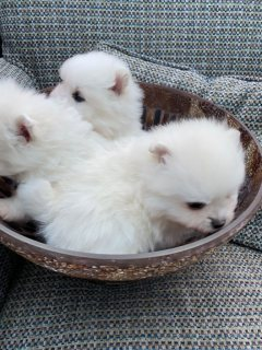 كلب صغير طويل الشعر صغير يبحث عن منازلهم إلى الأبد