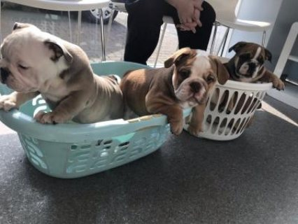 صور  Lovely English Bulldog Puppies for Sale 1