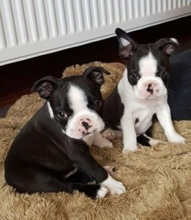 Boston Terrier Puppies For New Home for sale