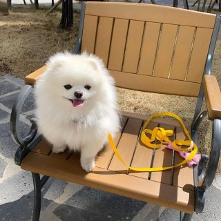 adorable pomeranian puppy for adoption