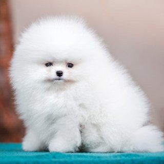 نقي ذكر كلب صغير طويل الشعر