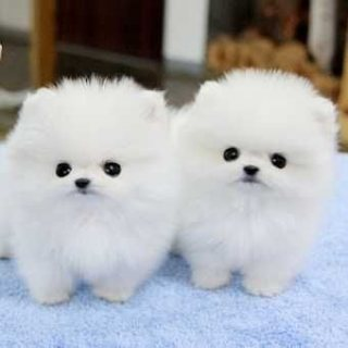 Pomeranian Teddy Bear Face Puppy