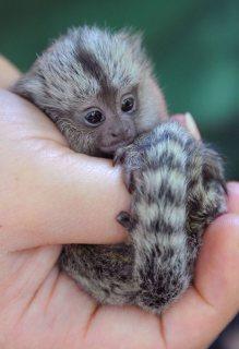 Sweet Baby monkeys for sale.