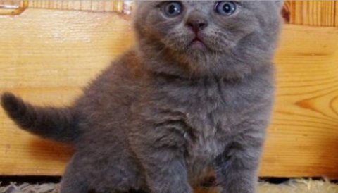 قطط بريطانية قصيرة الشعر مرحة من أجل Rehoming