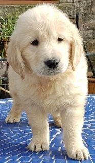كلب جولدن ريتريفر للبيع