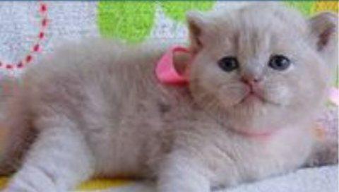 القطط البريطانية قصيرة الشعر للبحث عن منزل جديد