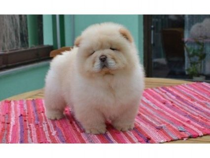 Adorable Chow Chow Puppies من أجل Rehoming