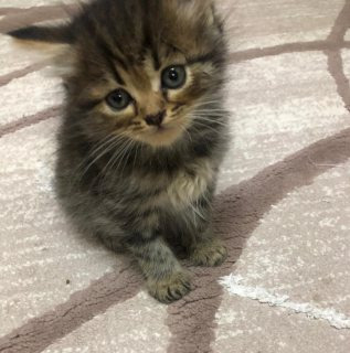 Siberian Kitten famale 45 days