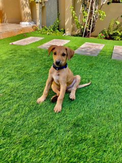 كلب جيرماني ميلنو للبيع