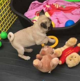 Registered Pedigree Pug Puppies Available Lovable Pug puppies for adoption