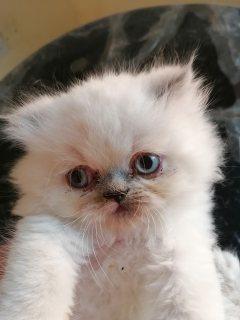 قطة هيملايا بلو بوينت عمر شهر ونص
