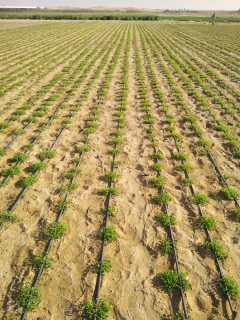 برسيم - جت - رودس محلي انتاج المزرعه بروتين مرتفع أخضر 100%