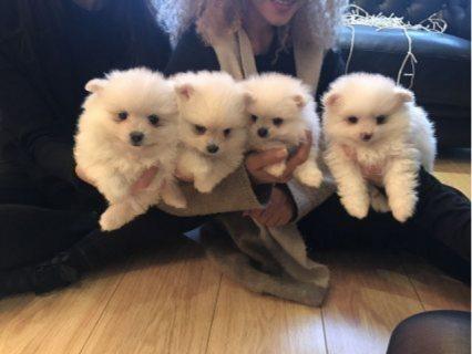 فنجان كلاب كلب صغير طويل الشعر للبيع
