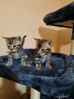 القطط البنغالية المذهلة مسجلة تيكا