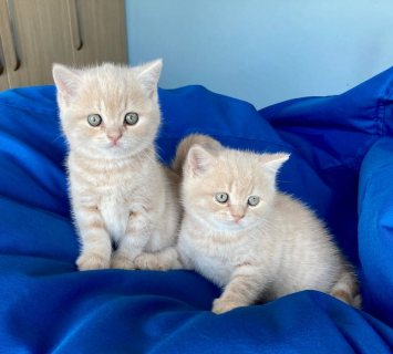 القطط البريطانية الزرقاء قصيرة الشعر للبيع