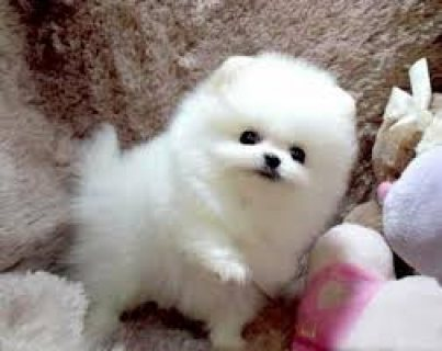 MMM vet checked Teacup Pomeranian Puppies for Sale