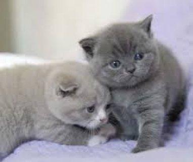 TT British Shorthair Kittens for sale