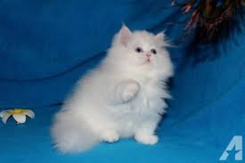 PPP Persian Kittens for Sale