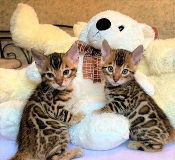 قطط بنغالية تبحث عن خدمة واتس اب منزلية جيدة ورعاية +13233645209