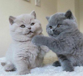 القطط البريطانية الشعر القصير للبيع whatsapp +13233645209)