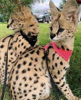 قطط السافانا F1 للبيع