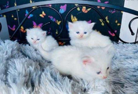 قطط اطفال للبيع