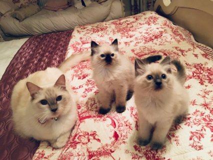 قطط دوول نشطة مسجلة