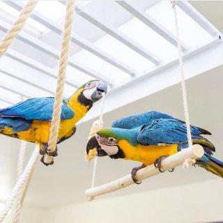 زوج غير مرتبط من الببغاوات الزرقاء والذهبية