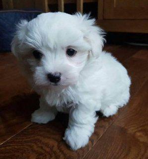 لعبة Maltese Puppy جاهزة لمنزل جديد ودائم للواتس اب +13233645209