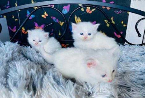 القط الفارسي بلو آيد للبيع
