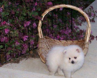 يتوفر كلاب صغيرة من بوميرانيان