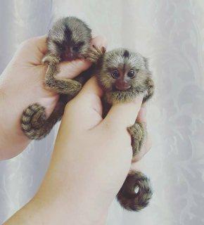 القرود الصحية متاحة الآن