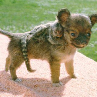 مرحة وجميلة مع الحيوانات الأليفة وغيرها من الحيوانات الأليفة ، يتوفر قرد صغير ،