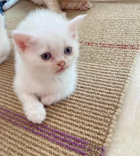 قطة شيرازي تركي
