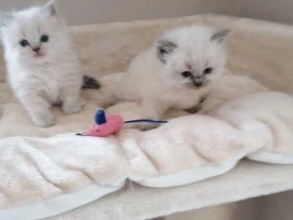 قطط دوول جميلة تبحث عن منازلها للأبد