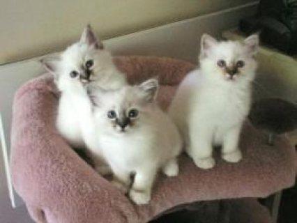 قطط دوول الجميلة متوفرة على الواتس اب 237653712386+